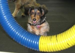 dog at agility class